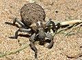 Weevil (Brachycerus sp.) (11966730664).jpg