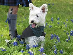 Westie wearing the Clan Campbell tartan of the Duke of Argyll (with a kilted companion)