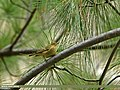 Western Crowned Warbler (Phylloscopus occipitalis) (22476964593).jpg