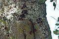 Western Fence Lizard - Flickr - GregTheBusker.jpg