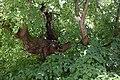 Wewelsburg - Linde an der Wewelsburg - 3.jpg