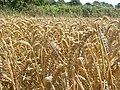 Wheat field - geograph.org.uk - 915903.jpg