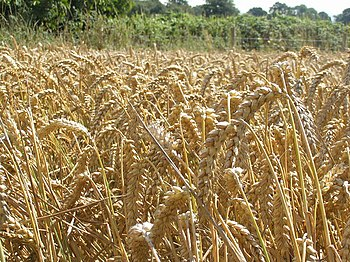 English: Wheat field