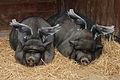 When pigs have wings.jpg