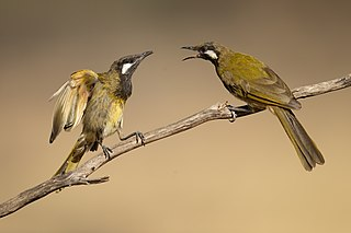 White-eared honeyeater species of bird