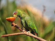 A green parrot with a red face, a white-and-blue forehead, and grey eye-spots