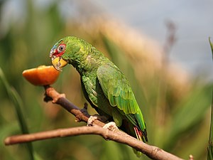White-fronted amazon (Amazona albifrons) 1.jpeg