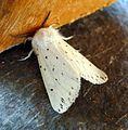 White Ermine Male. Spilosoma lubricipeda. Arctiidae - Flickr - gailhampshire.jpg