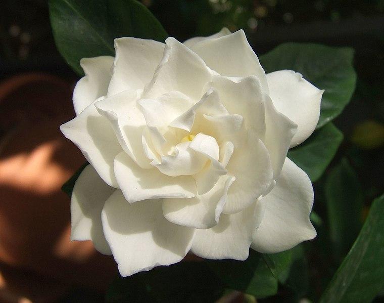 File:White Gardenia flower.jpg