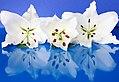 White Lilly (7727417600).jpg