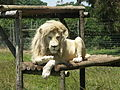 White Lion-001.jpg