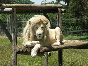 White lion at the Seaview Game & Lion Park, Ea...
