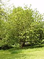 White Mulberry tree at Fulham Palace - geograph.org.uk - 835695.jpg
