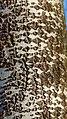 White Poplar Populus alba, Knapp, Worcs (32284776640).jpg