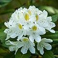 White Rhododendron (18565208519).jpg