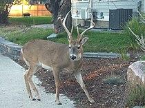 white tailed deer wikipedia
