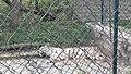 White Tiger @ Bannerghatta National Park, Bangalore - panoramio (2).jpg