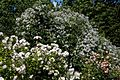 White climbing and rambling roses at Boreham, Essex, England.jpg