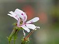 White desert flowers (14911853226).jpg