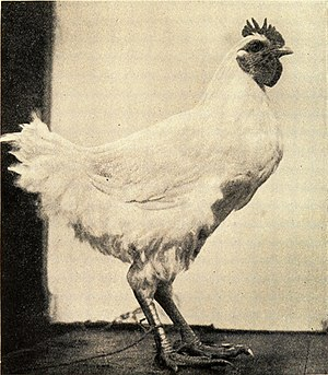 "Countershading - Thayer's ""White fowl, lacking counter-shading, against a flat white cloth."""