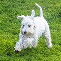 White mini schnauzer puppy runs.jpg