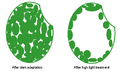 Wiki cells for chloroplast migration.png