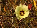 Wild Cotton - Flickr - treegrow (6).jpg