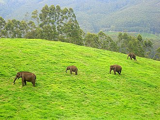 Indian elephant - Wild elephants in Munnar, Kerala