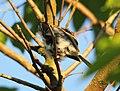 Wildlife birds 19 - West Virginia - ForestWander.jpg