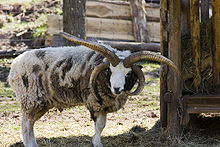 Photograph of a multi-horned Jacob ram with fully grown horns at Wildpark Schloss Tambach, Weitramsdorf, Germany