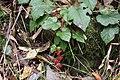 Wineberry (Rubus phoenicolasius) (23028789289).jpg