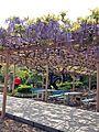 Wisteria tree of Kanahebi-Suijinja shrine 2.JPG