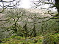 Wistman's Wood - geograph.org.uk - 12030.jpg