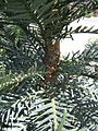 Wollemia nobilis trunk detail 3.jpg