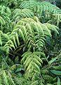 Woodwardia orientalis kz2.jpg