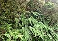 Woodwardia radicans kz02.jpg