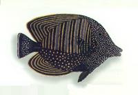 XRF-Zebrasoma veliferum.png