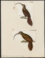 Xiphorhynchus procurvus - 1700-1880 - Print - Iconographia Zoologica - Special Collections University of Amsterdam - UBA01 IZ19200247.tif