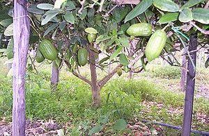 History of the Jews in Calabria - Image: Yanove Trees
