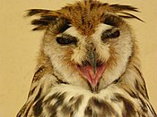 Yawning Striped Owl.jpg