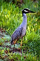 Yellow-crowned Night Heron (7345190292).jpg