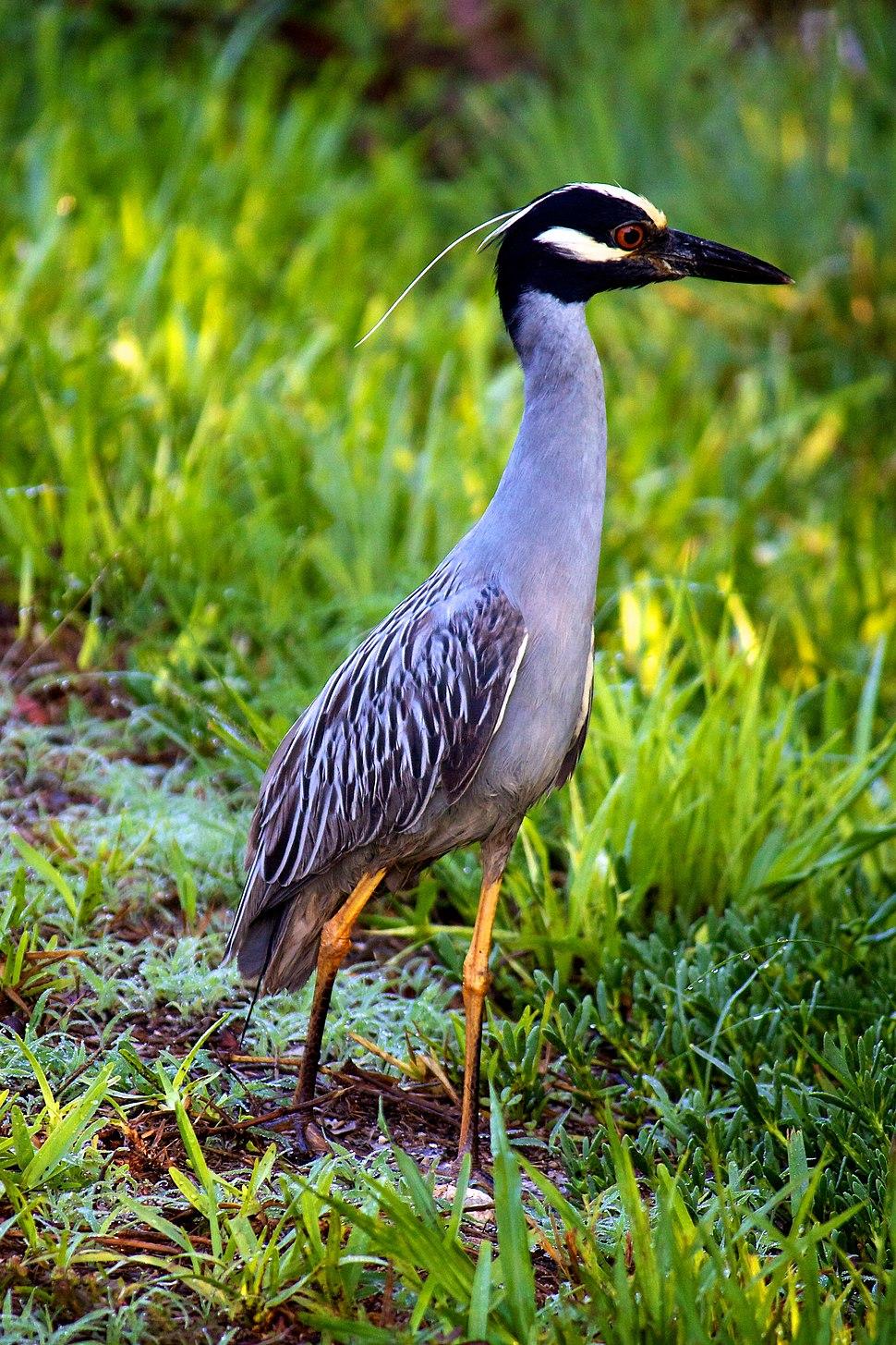 Yellow-crowned Night Heron (7345190292)
