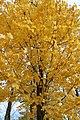 Yellow leaves on Tree, Lempdes, Auvergne.jpg