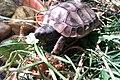 Young Hermann's Tortoise.jpg