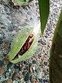 Young Milkweed Bugs (22024086252).jpg