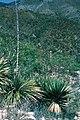Yucca declinata fh 0403 MEX B.jpg