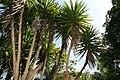 Yucca elephantipes 5zz.jpg