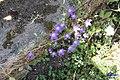 Zakynthos flora (Vol) (35724174142).jpg