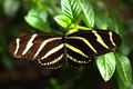 Zebra Longwing (Heliconius charithonia).png