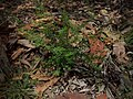 Zieria aspalathoides subsp. aspalathoides.jpg